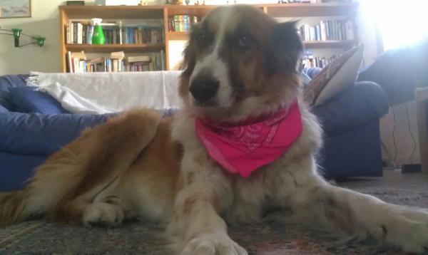 Collie mix dog wearing pink bandana around neck