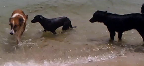 3 dogs paddle in sea